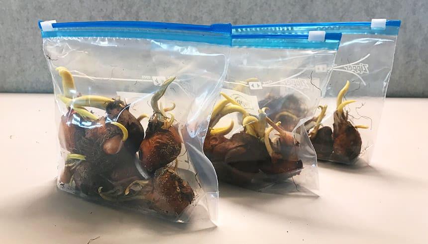 Bloembollen in een Zipper® zakje – klaar voor de winter